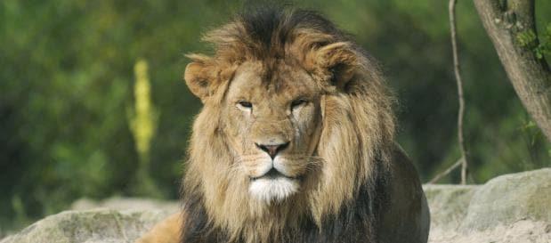 Burgers zoo leeuw